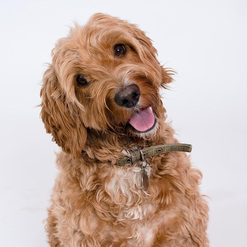Jackson the dodio dog